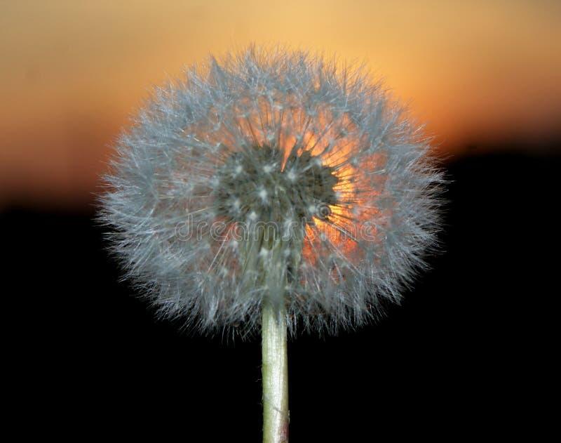 Solnedgång av solen En urblekt maskros Den kompakta ideala formen av kärnar ur placering royaltyfri foto