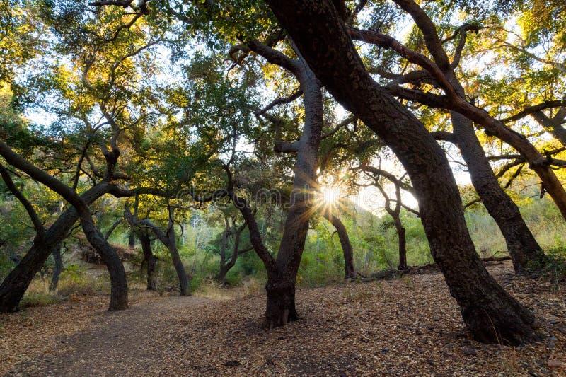 Solnedgång bak en eksavannah i sydliga Kalifornien royaltyfri fotografi