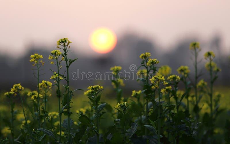 Solnedgång bak ett senapsgult fält royaltyfri fotografi