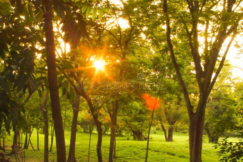 Solnedgång eller soluppgång i Forest Landscape Solsolsken med naturliga solljus- och solstrålar till och med träträd i sommarvårs arkivbild