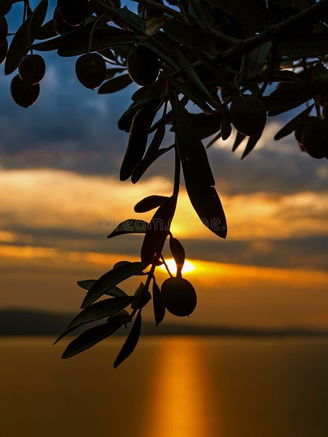 Solnedgång för olivträdfilial royaltyfri bild