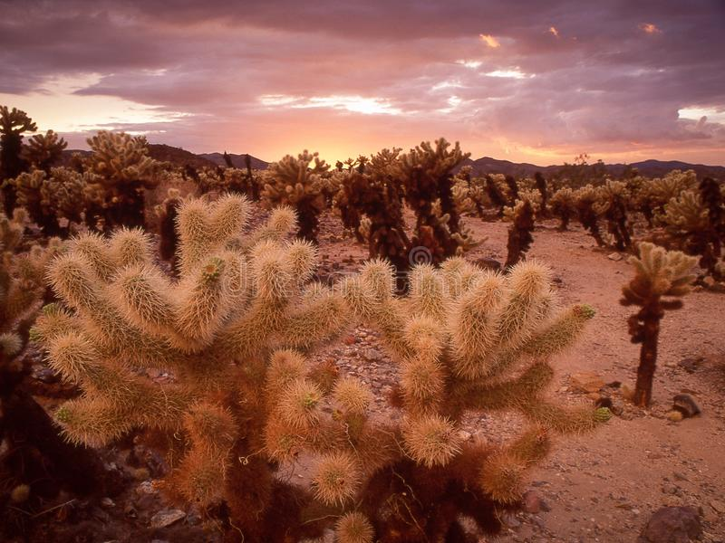 Solnedgång i Cholla kaktusträdgård royaltyfri fotografi