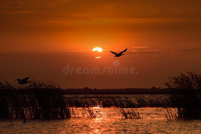 Solnedgång i Donaudelta med konturn av att flyga för pelikan arkivfoto