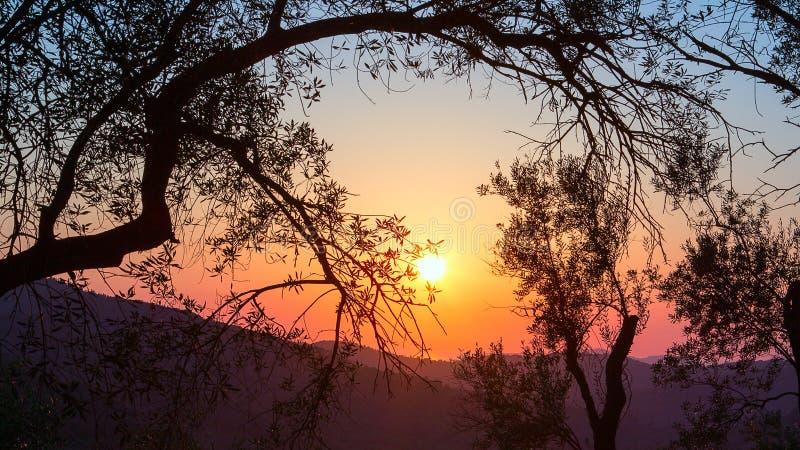 Solnedgång i en olivgrön dunge royaltyfri fotografi