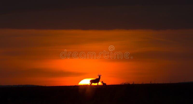 Solnedgång i Masai Maras nationella reserv med Topi-antelopar fotografering för bildbyråer