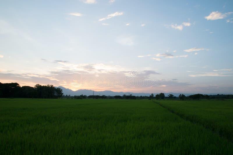 Solnedgång i risfältet, Thailand royaltyfria foton