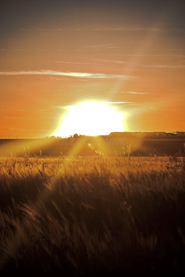 Solnedgång i sädes- fält arkivfoton