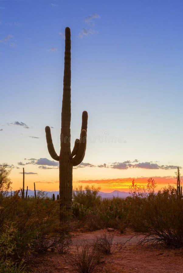Solnedgång i Saguaronationalparken, nära Tucson, sydöstliga Arizona, Förenta staterna Ställning för gigantea för SaguarokaktusCar royaltyfri fotografi