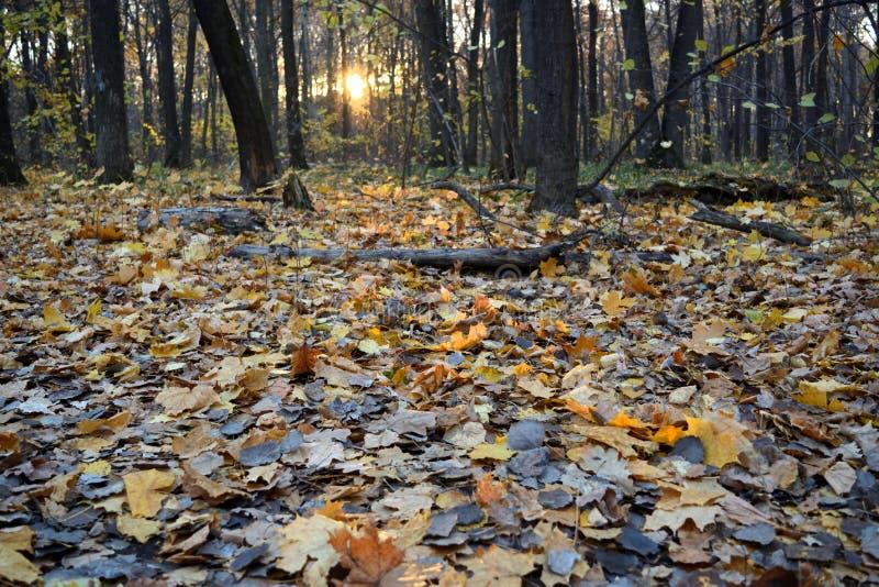 Solnedgång i skogen som är full med stupade sidor seagull f?r h?staftonst?ende arkivfoto