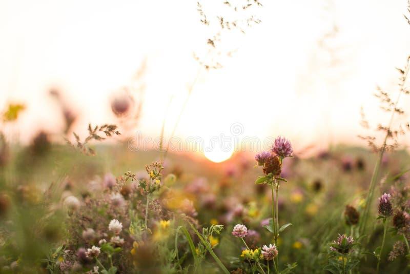 Solnedgång i växt av släktet Trifoliumfält arkivfoton