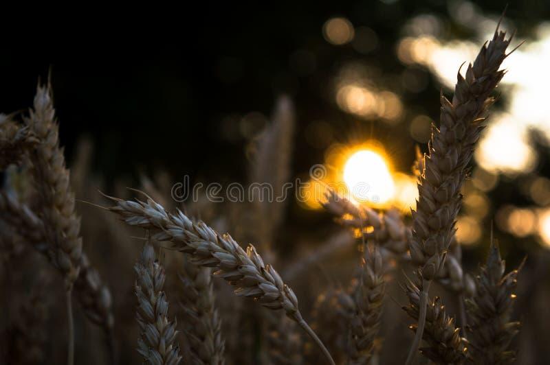 Solnedgång i vetefält royaltyfri bild