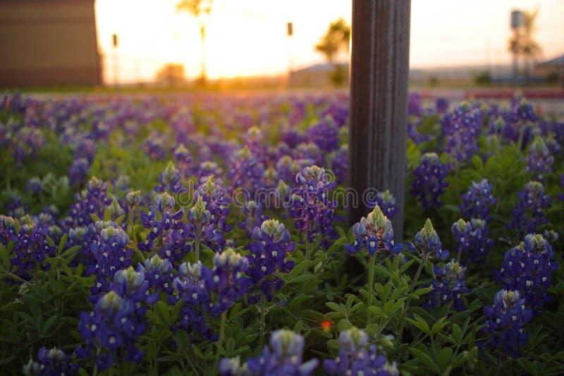 Solnedgång med bluebonnet royaltyfria bilder