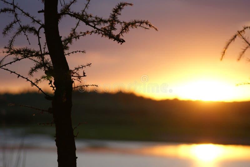 Solnedgång med ett barrträd arkivfoton
