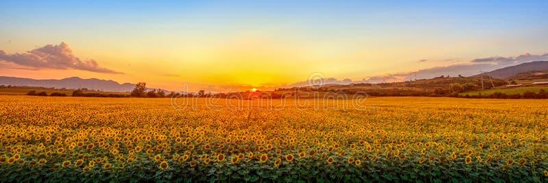 Solnedgång med solrosen arkivbilder