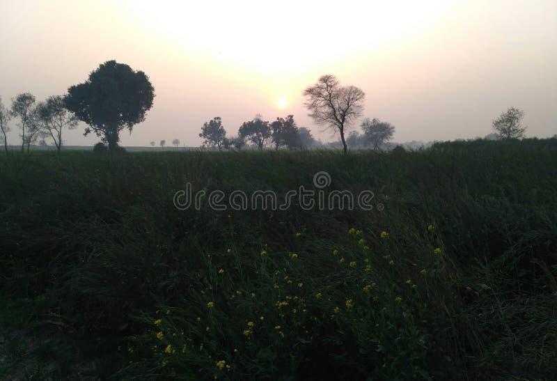 Solnedgång natur, senapsgult blomma, senapsgult lantbruk, växter, träd, landskap arkivfoton