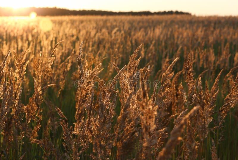 Solnedgång och fält av gult gräs arkivbilder
