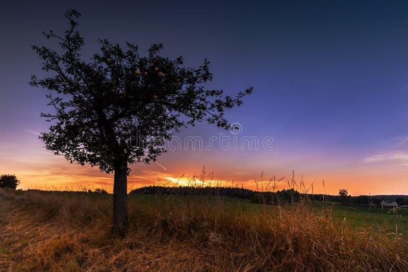 Solnedgång och kontur av trädet med mogna äpplen arkivbild
