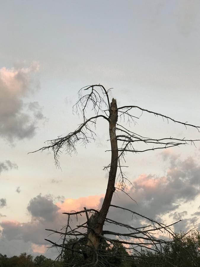 Solnedgång på det ensamma trädet arkivfoto