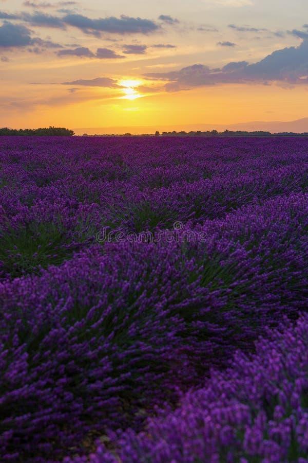 Solnedgång på lavendelfältet arkivfoton