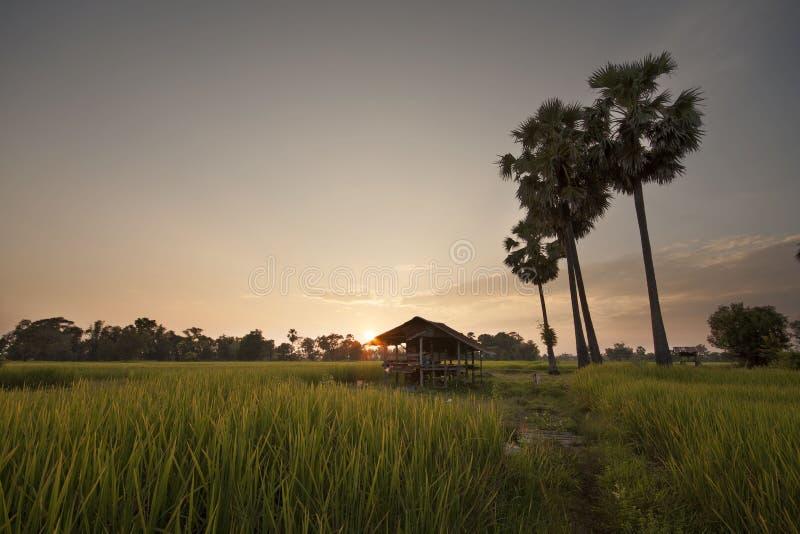 Solnedgång på rislantgården arkivfoto