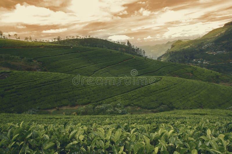 Solnedgång på teplantagelandsbygden arkivfoto