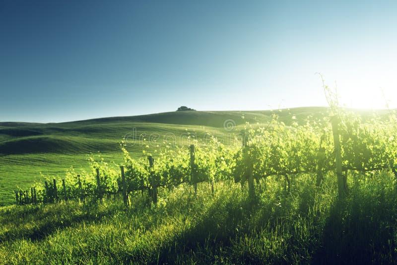 Solnedgång på vingården Tuscany arkivfoto
