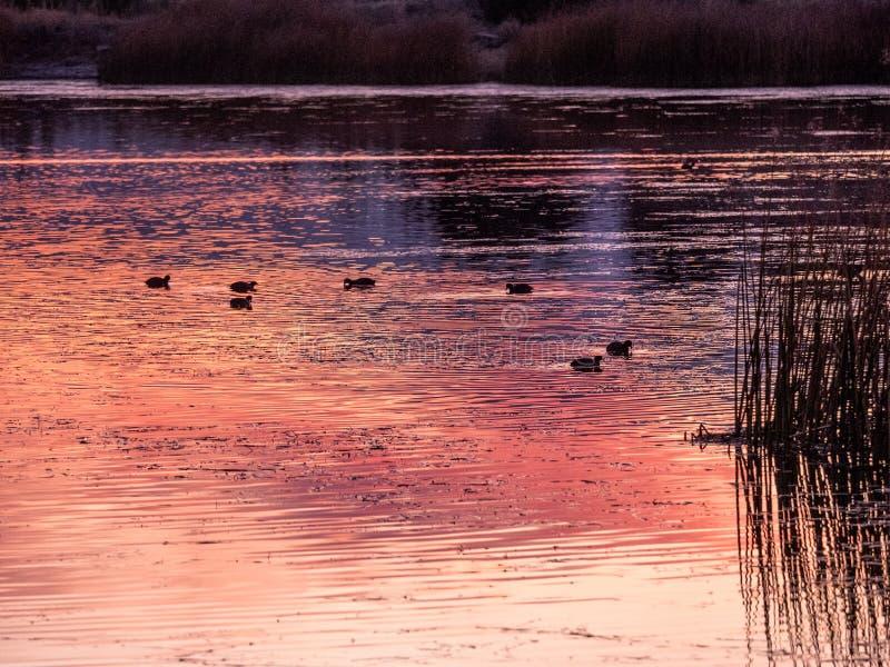 Solnedgång reflekterad i sjön med änder arkivfoto