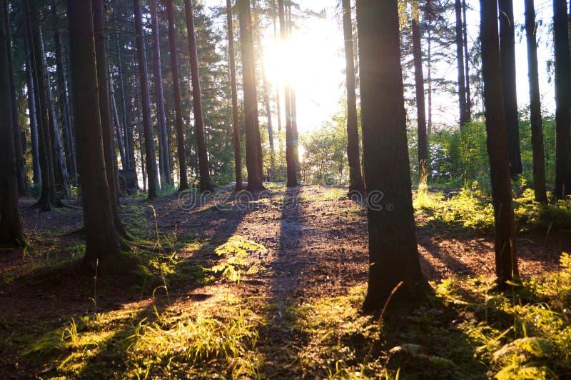 Solnedgång under förhistoriska barrträd royaltyfri bild