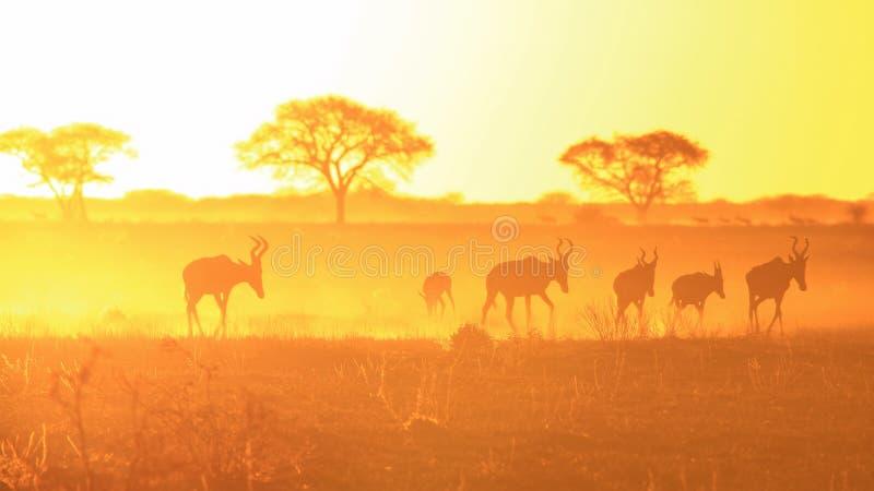 Solnedgångbakgrund av guld- och horn - röda Hartebeest, djurliv från Afrika. royaltyfria foton
