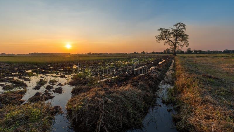 Solnedgången bak ett träd står bara i cornfielden fotografering för bildbyråer