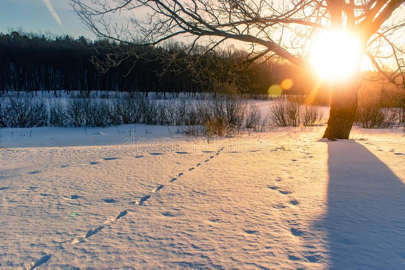 Solnedgången i en vinterskog spårar av djur i snön royaltyfri fotografi