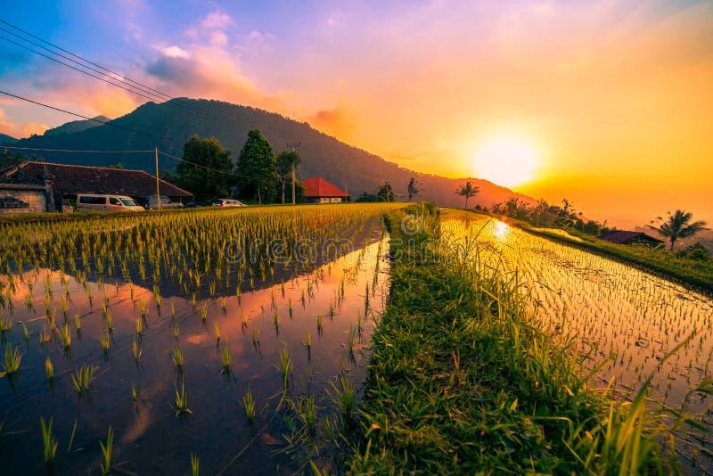 Solnedgången på risfält på Jatiluwih terrasserade av Ubud, Bali, Indonesien royaltyfri bild