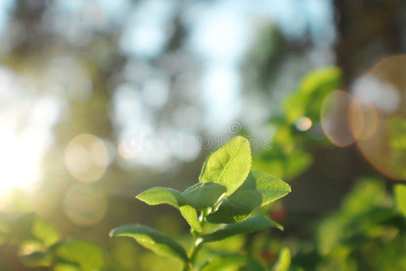Solnedgången slår växten arkivbild