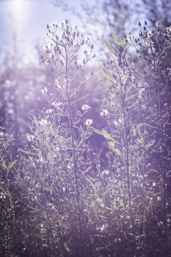 Solnedgången som är august, gräs och blommor i solen arkivbild