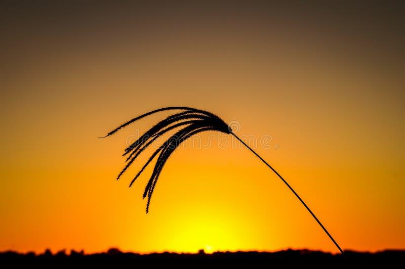 Solnedgånggräs 9 arkivfoto