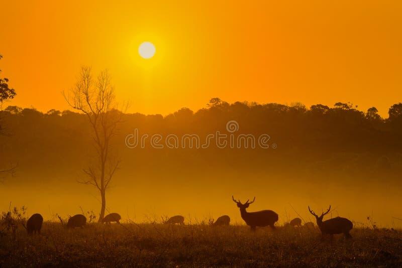 Solnedgånghjortar på det Thung Kraang Chaiyaphum landskapet, Thailand royaltyfria bilder