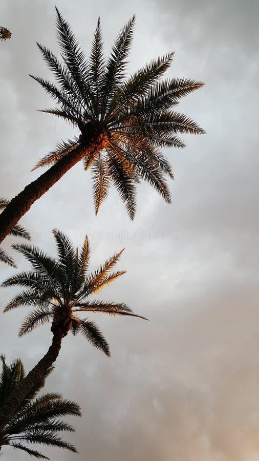 Solnedgångpalmträd royaltyfri fotografi