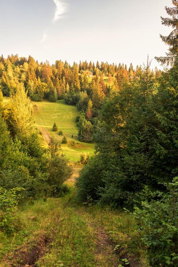 Solnedgångpinjeskog fotografering för bildbyråer