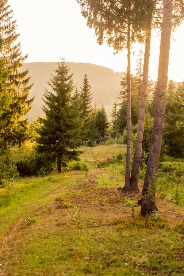 Solnedgångpinjeskog i berg royaltyfri bild