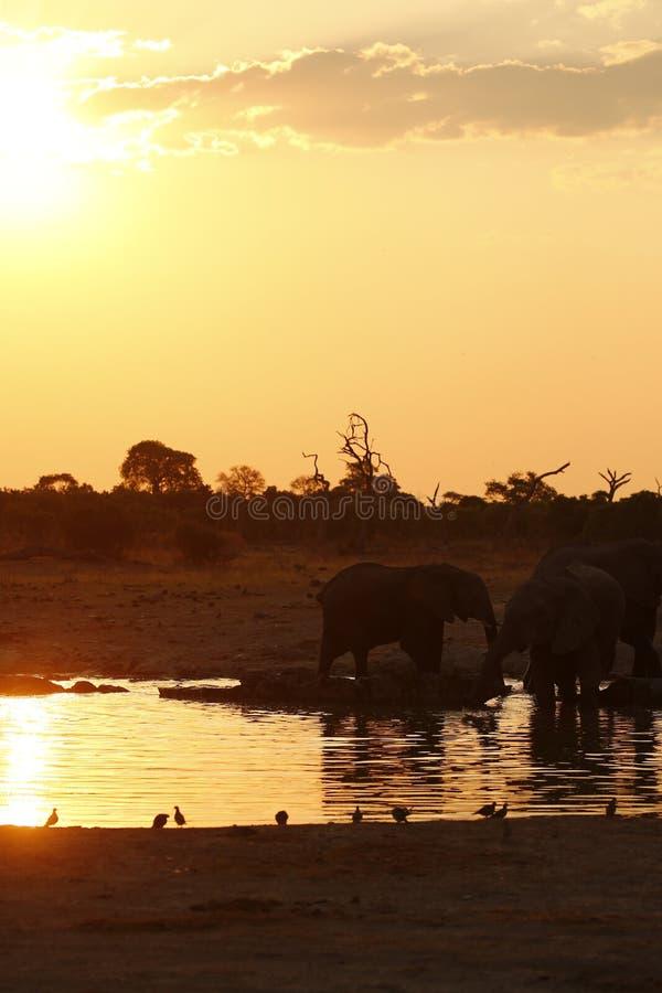 Solnedgångsafari med att bedöva elefanter för att hålla ögonen på royaltyfri foto