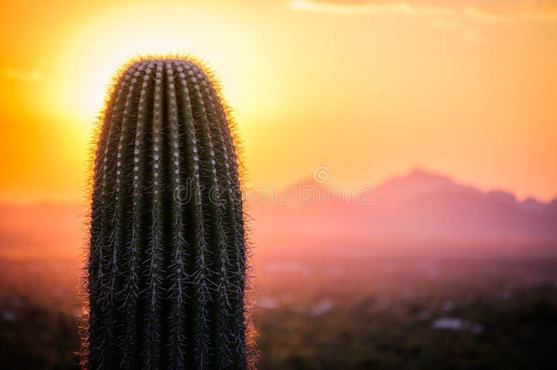 Solnedgångsikt av Saguaroträdet i den Sonoran öknen arkivbilder
