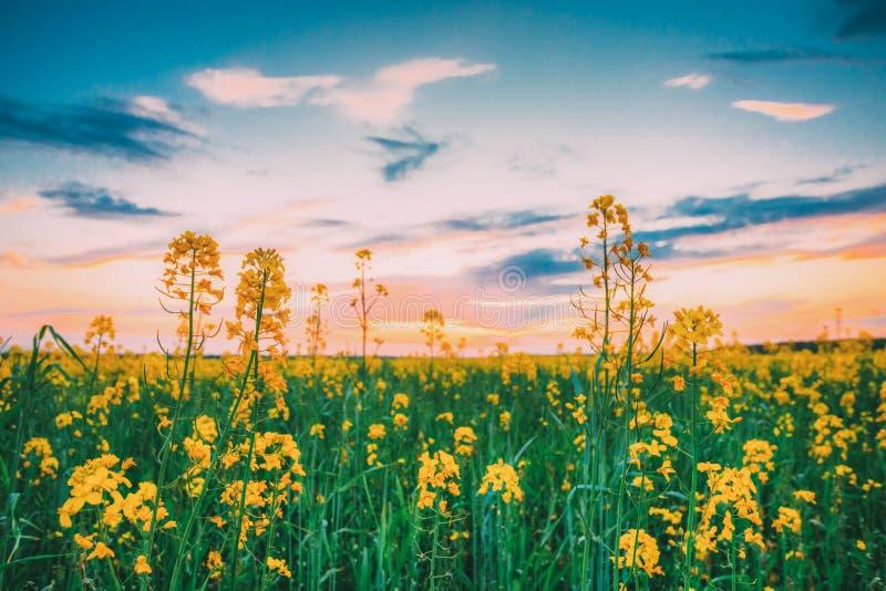 Solnedgångsoluppgång över våren som blommar Canola, våldtar, rapsfröt, gräs för oljefröfältäng Stäng sig upp av blomningen av Can royaltyfri foto