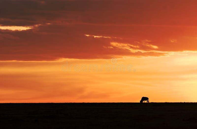 solnedgångwildebeest arkivfoton