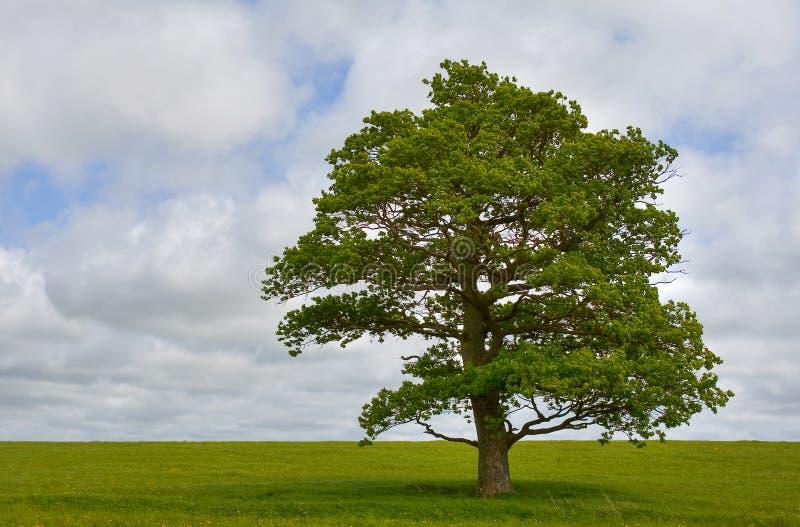 Solo árbol fotografía de archivo