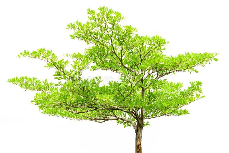 Solo árbol aislado fotos de archivo libres de regalías