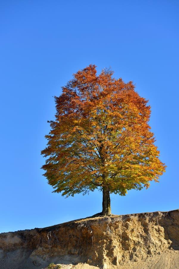 Solo árbol coloreado otoño precioso en el borde contra azul claro imagenes de archivo