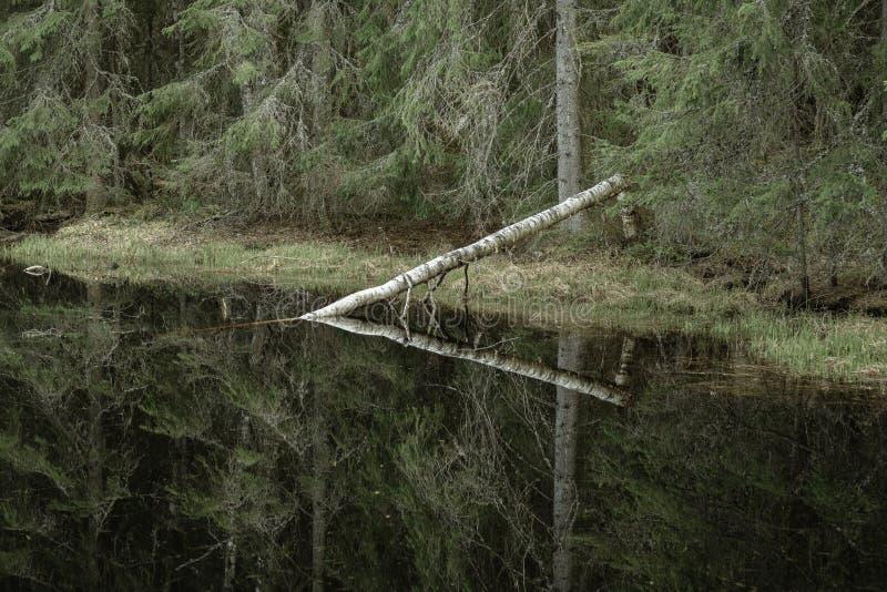 Solo árbol de abedul caido en un lago fotografía de archivo libre de regalías