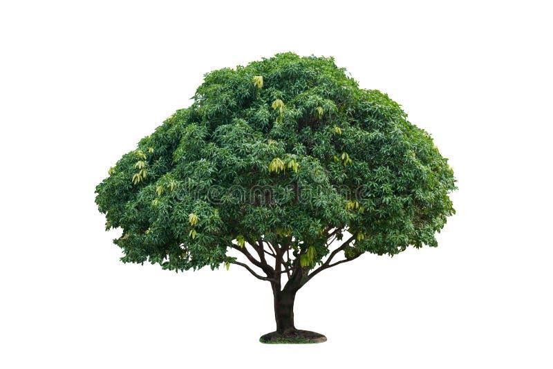 Solo árbol de mango aislado en blanco con la trayectoria de recortes fotografía de archivo