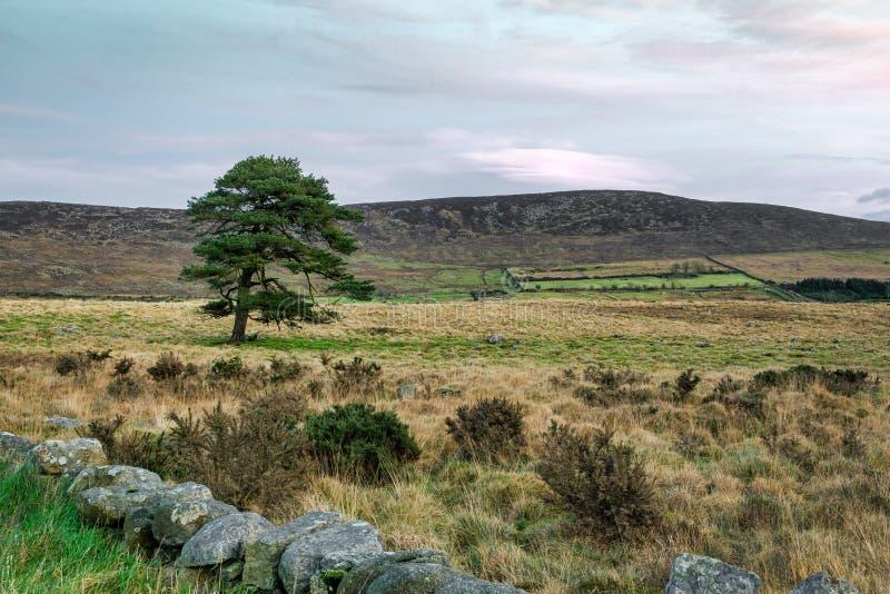 Solo árbol de pino en campo imagen de archivo libre de regalías