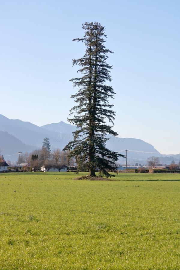 Solo árbol de pino en campo de granja imagen de archivo libre de regalías